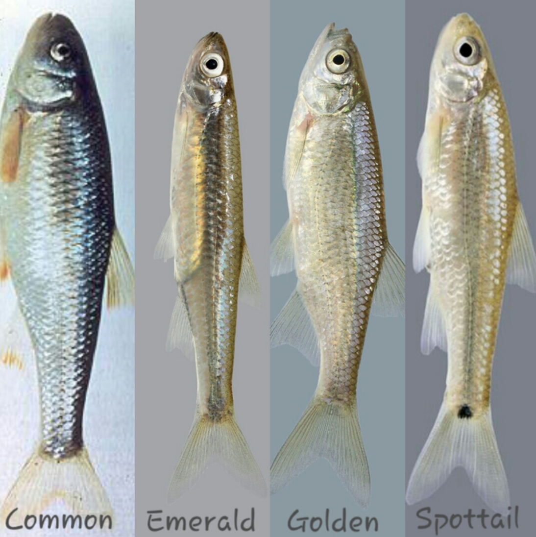 common bait fish