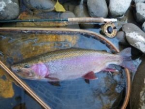 rainbow trout with rubber net