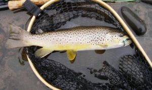 trout in nylon fishing net