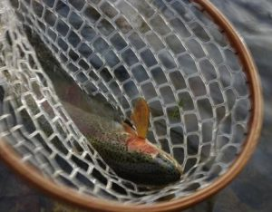 rainbow trout in fly fishing net